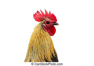 gallo, aislado, en, un, fondo blanco, con, recorte, path.