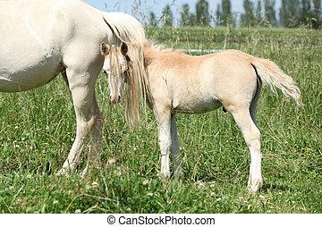 gallois, montagne, poulain, poney, magnifique
