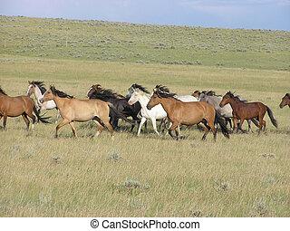 herd of Spanish Mustang mares running in the pasture