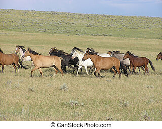 Gallop - herd of Spanish Mustang mares running in the...