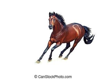 galloping, baía, esportiva, alemão, garanhão, isolado, branco