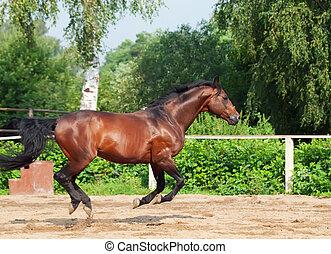 galloping, baía, esportiva, raça, garanhão