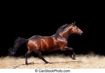 galloping, experiência preta, bonito, isolado, esportiva, cavalo