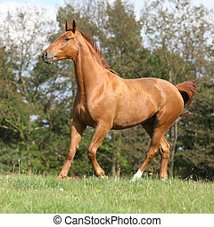 Galloping horse with beautiful chestnut color on pasturage ...