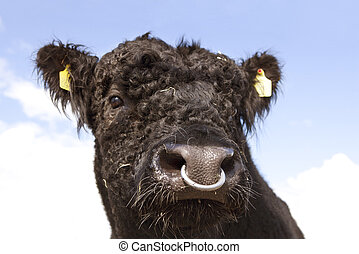Galloway bull head - Head of a black galloway bull with nose...