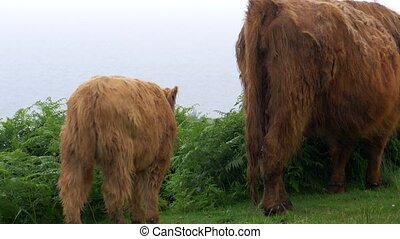 Galloway Calf And Cow, Scottland - Graded Version - Graded...