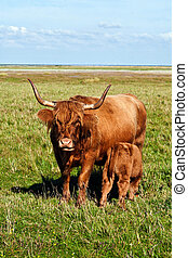 Galloway cattle standing in the meadow with his young calf