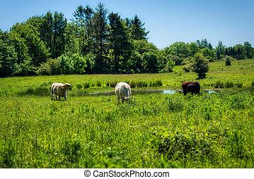 Galloway cattles at the Kaltenhofer Moor in Schleswig-Holstein in Germany
