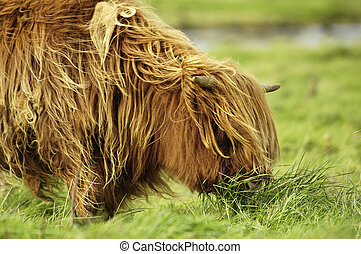 A grazing hairy galloway cattle. A green meadow fills the right side and the background.