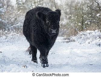 galloway, schwarz, winterlandschaft