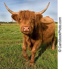galoper, vache