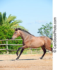 galoping Andalusian grey young  stallion. Spain