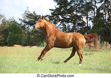 galoppieren, pferd, mit, schöne , kastanienbraun, auf,...