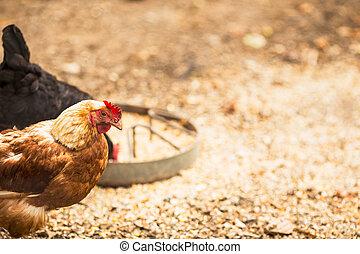 gama, gallinas, libre