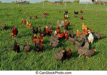 gama, pollos, libre