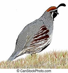 Gambel's Quail (Callipepla gambelii) male
