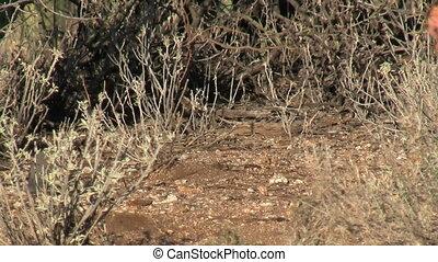 Gambel's Quail In Sonoran Desert
