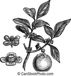 Green coffee powder price in india
