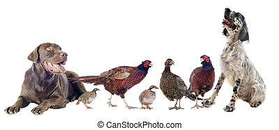 game birds and hunting dogs in front of white background