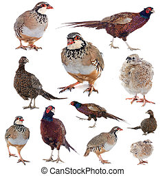 game birds in front of white background
