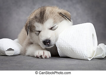 Game over - One month old alaskan malamute puppy sleeps...