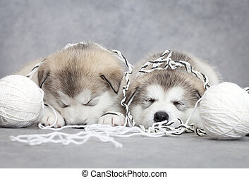 Game over - Two malamute puppies sleep after play with clew...