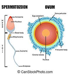 gametes, sperma, mänsklig, :, ägg, struktur