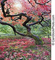 gamle, japansk ahorn træ, ind, fald