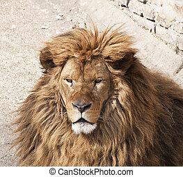 gamle, løve, portræt