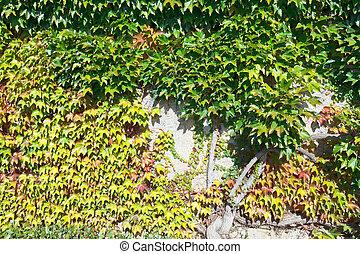 gamle, mur, svøb, af, vedbend, løvværk, ind, efterår