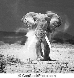 gammal, elefant, amboseli, medborgare, medeltal