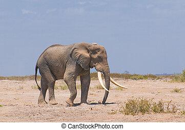 gammal, elefant