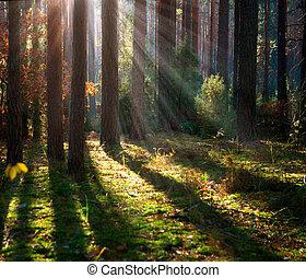 gammal, forest., dimmig, höst, veder