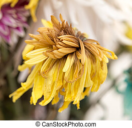 gammal, gul blomma