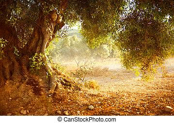 gammal, oliv träd