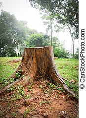 gammalt träd, graden, grön fond, stubbe, gräs