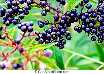 gammel, berries, sort