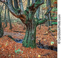 gammelt træ, ind, efterår skov