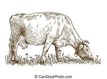 ganado, blanco, husbandry., animal, ilustración, cow., ...