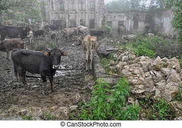 ganado, en, karabakh