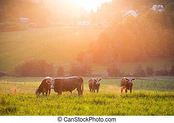ganado, pasto, durante, ocaso, en, un, valle