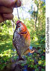gancho, peixe,  piranha