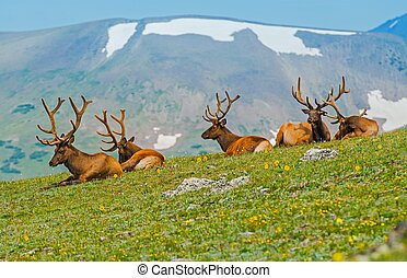 Gang of Elks in Colorado. North American Elk on the Hill....