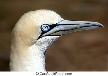 Gannet Bird Portrait