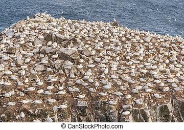 Gannet Birds on Cliffside
