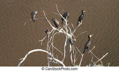 gannet birds on dry tree