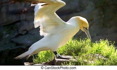 gannet, côtier, sec, rocher, ailes, europe, commun, nord, oiseau, closeup, s'agiter, sien