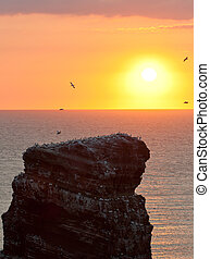 Gannet colony on a rock with a setting sun in the background