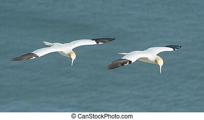 Pair of wild Northern Gannet morus bassanus seabird in flight off english coastline