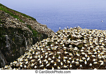 Gannets at Cape St. Mary's Ecological Bird Sanctuary - ...